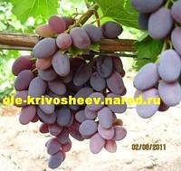 Саженцы винограда продажа, кишмиш Юпитер США