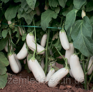 Семена баклажана Аретуза F1 1000 семян Rijk Zwaan