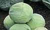 Семена капусты б/к Мускума F1 2500 семян (калиброванные) Rijk Zwaan