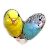 Волнистый попугай. (Малыши)