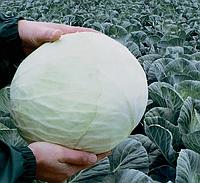 Семена капусты б/к Анкома F1 2500 семян (калиброванные) Rijk Zwaan