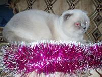 Шотландский фолд кот колор поинт для вязок