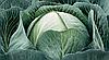 Семена капусты б/к Калорама F1 2500 семян (калиброванные) Rijk Zwaan