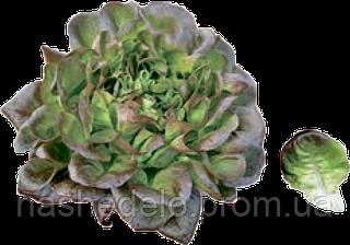 Семена салата Кли 1000 семян Rijk Zwaan