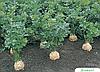 Семена сельдерея Диамант 10000 семян Bejo