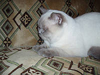 Шотландский страйт колор поинт кот для вязок