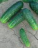 Семена огурца Циркон F1 1000 семян Nunhems