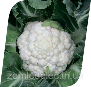 Семена цветной капусты Фридом F1 2500 семян Seminis