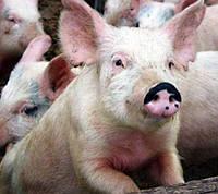 Свиньи 110 кг