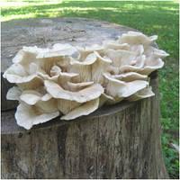 Хотите выращивать грибы на пнях?