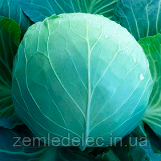 Семена капусты б/к KS 29 F1 1000 семян Kitano