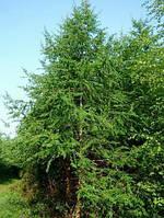 Крупномер. Лиственница Европейская.Высота 4-5 м