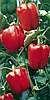 Семена перца сладкого Маратос F1 250 семян Enza Zaden