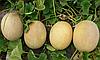 Семена дыни Карамель F1 5000 семян Clause