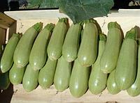 Семена кабачка Асма F1 500 семян Clause