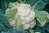 Семена цветной капусты Наутилус F1 2500 семян Clause
