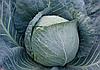 Семена капусты б/к Браво F1 100000 семян Clause
