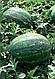 Семена арбуза Каристан F1 1000 семян Syngenta, фото 2