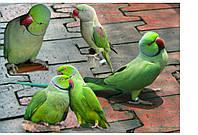 Ожереловый попугай зеленый-купить