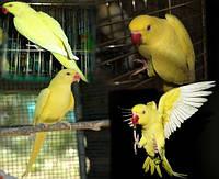 Попугай Ожереловый (Psittacula krameri) из питомника Желтого окраса