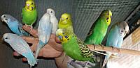 Волнистый попугай (Melopsittacus undulatus) домашнего разведения.