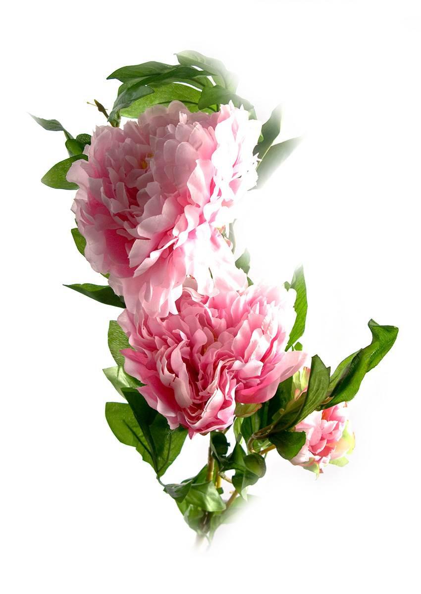 Декоративный цветок Пион