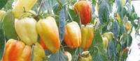 Семена перца сладкого Барби F1 100 семян Syngenta