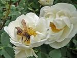 Роза чайная лекарственные лепестки