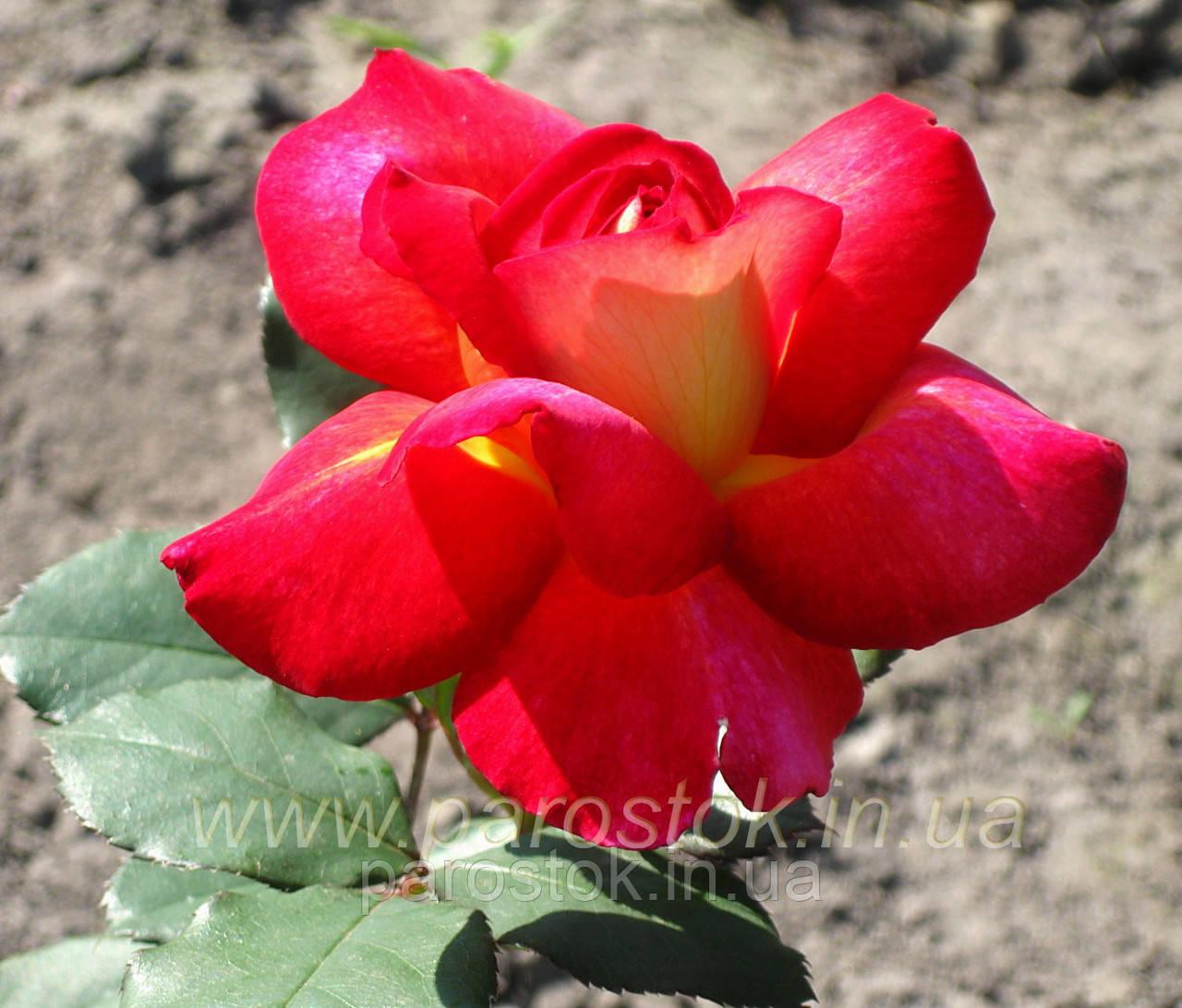 роза большой