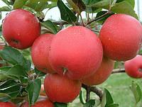 Саженцы яблони Рубинетте Россо. (М 26).  Зимний сорт.