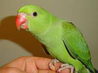 Ожереловый попугай зеленый из питомника.
