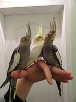Корелла попугай Нимфа-ручной для обучения разговору.