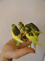 Волнистый попугай домашнего разведения.