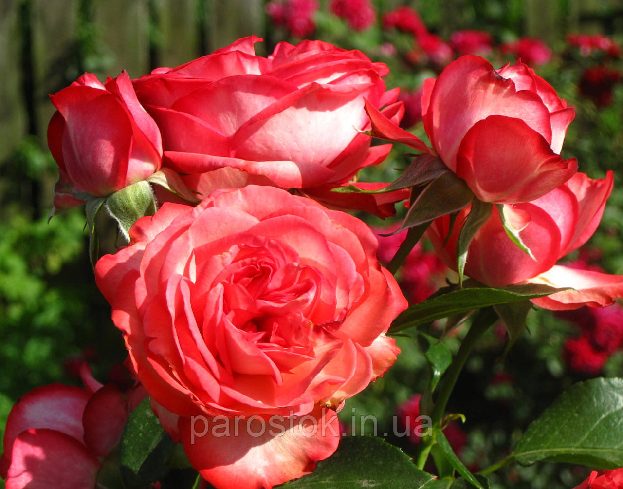 роза плетистая антике