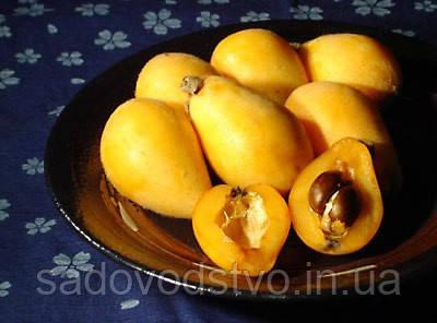Мушмула японская семена, фото 3