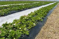 Агроволкно польша 50 гр/м²  1.6м*100м черное и белое