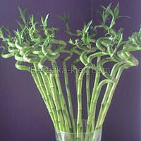 Растение Бамбук декоративный (70см.)