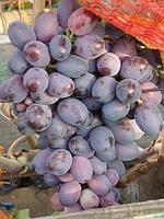Саженцы винограда  Подарок Несветая (очень ранний)