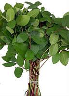Салал растение для фитокомпозиций и фитодизайна