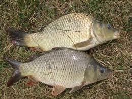 рыба толстолобик отзывы