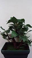 Денежное дерево Бонсай размер 13*9