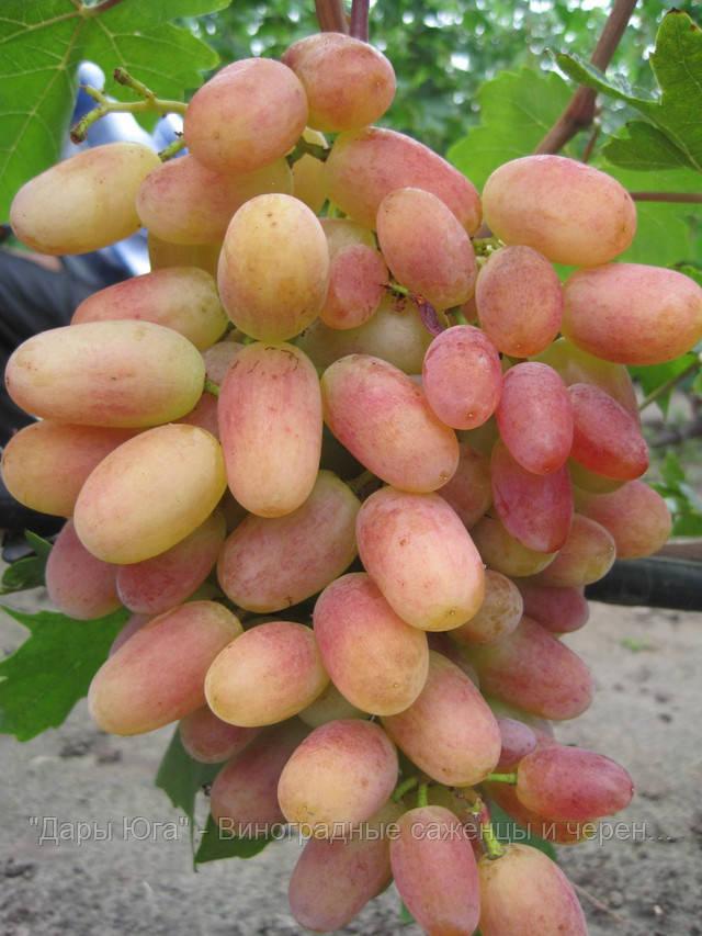 Виноград сенсация  описание