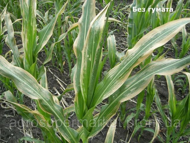 Кукуруза без использования Ровенских Гуматов