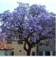 Семена павловнии Дерево императрица