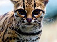 Самые желанные породы кошек