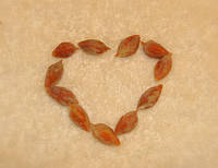 Семена зизифуса