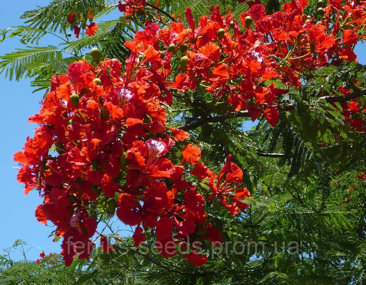 Делоникс королевский или Огненное дерево