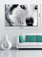 Фотографическая картина «Волк с голубыми глазами»