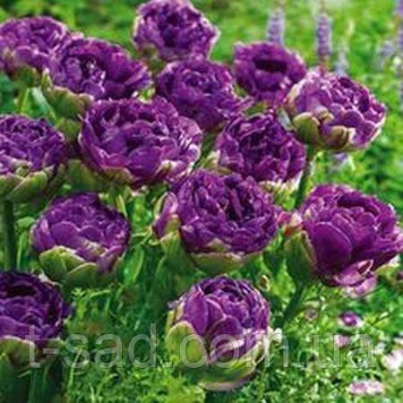 Тюльпан семена фото
