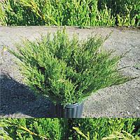 Ялівець горизонтальний (Можжевельник горизонтальный) Andora Compacta, горшок 1,5 л